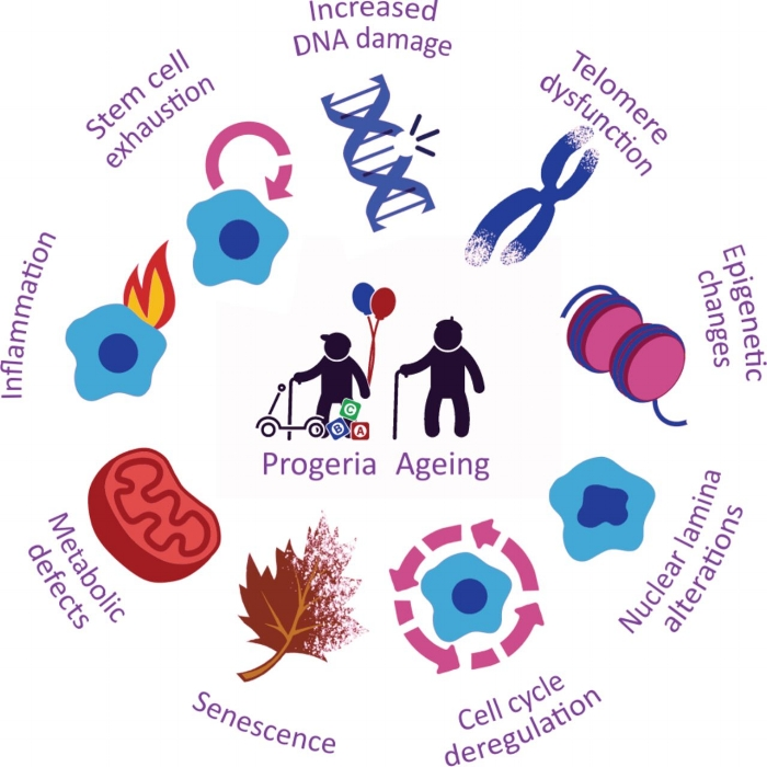Credit: Dido Carrero, Clara Soria-Valles, Carlos López-Otín Disease Models and Mechanisms 2016 9: 719-735
