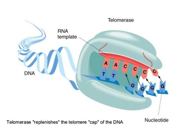 telomerase-13-638[1].jpg