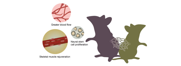 Linking circulatory systems appears to have regenerative effects, but young blood's influence may be overestimated