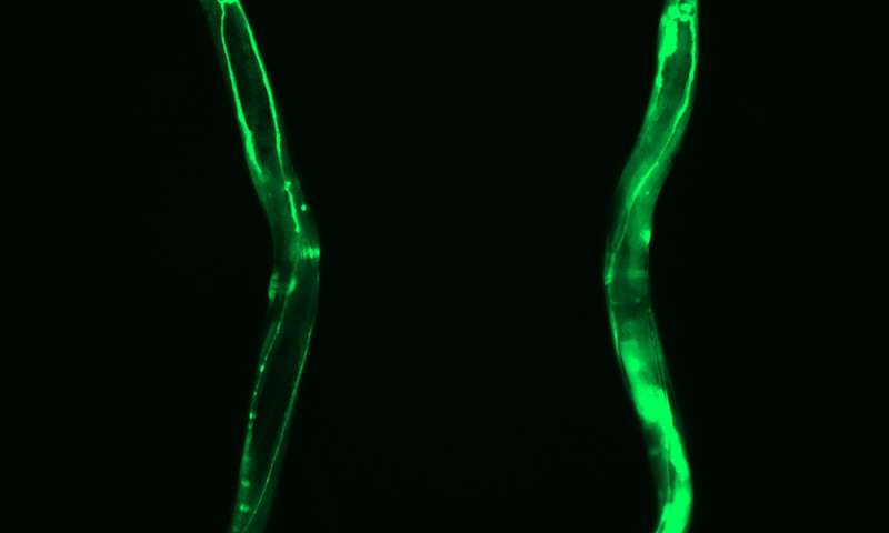 Overexpression of CCT8 shown here through GFP fluorescence. Credit: Alireza Noormohammadi and Amirabbas Khodakarami