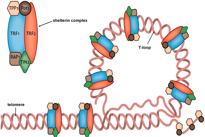 The shelterin complex proteins were believed to be the only proteins that bound telomeres