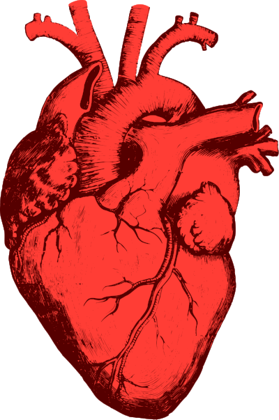 Engineered Heart Tissue Boosts Heart Function In Mice — Longevity ...