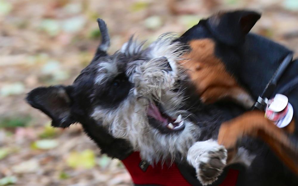 Max wrestling in Central Park