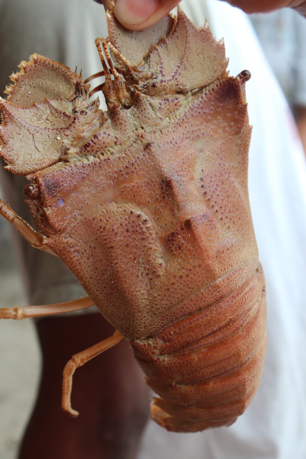 Slipper (tsinelas) lobster, Palawan, Philippines