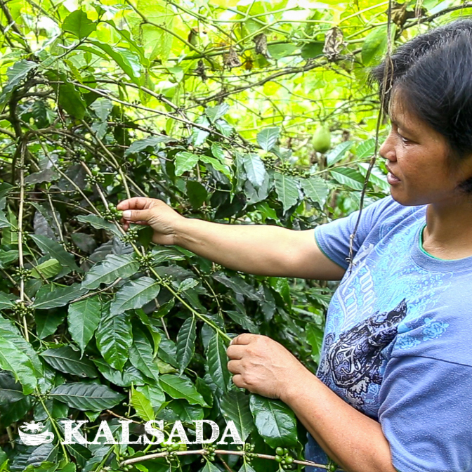 A grower examines a coffee plant. Photo courtesy of Kalsada Coffee.