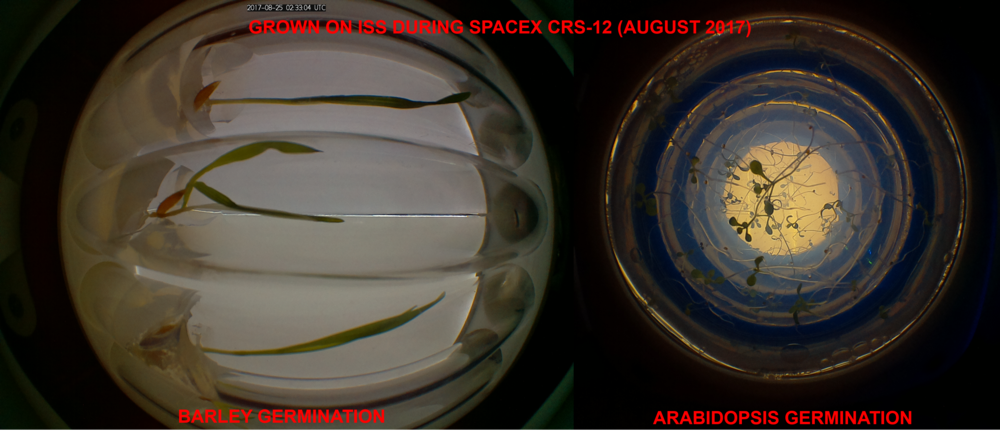 Barley Germination (left) and Arabidopsis Germination (right) grown on the International Space Station during CRS-12 in August 2017.