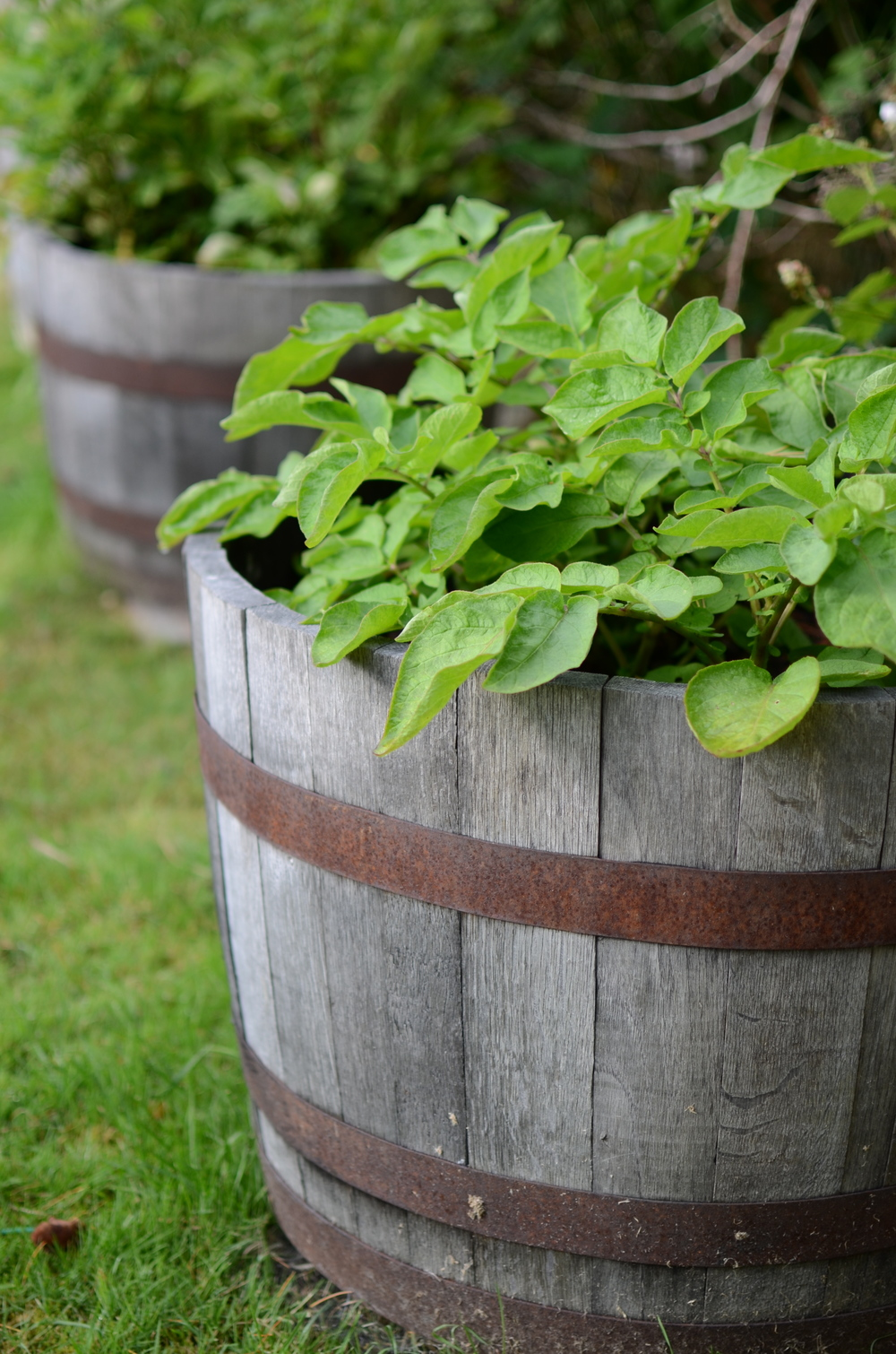 Potatoes in a wine barrel - photo by Seattle Urban Farm Company
