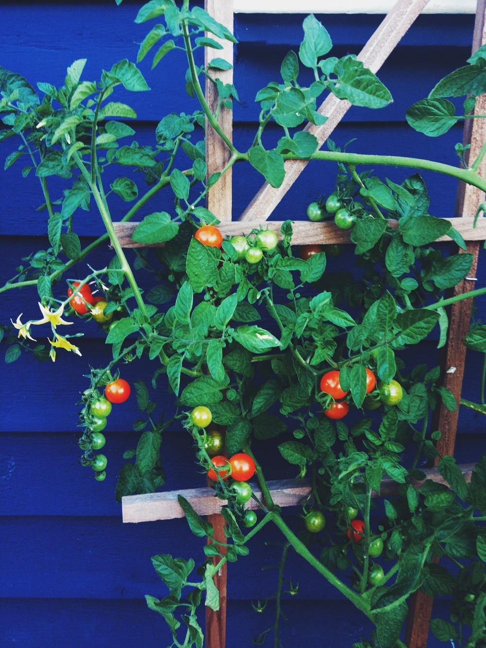 100 Hybrid Tomatoes