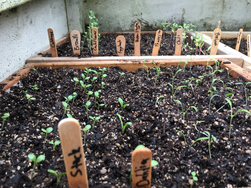 raising seeds.JPG