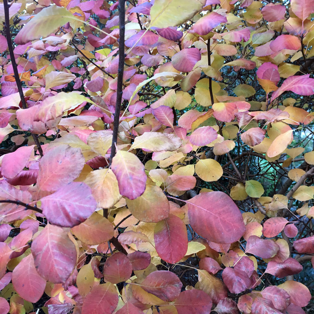 Purple-yellow-leaves.jpg