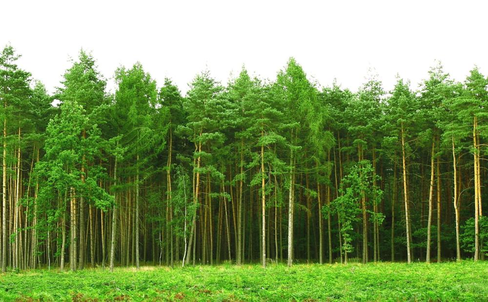 shutterstock_pineforest_60701053.jpg
