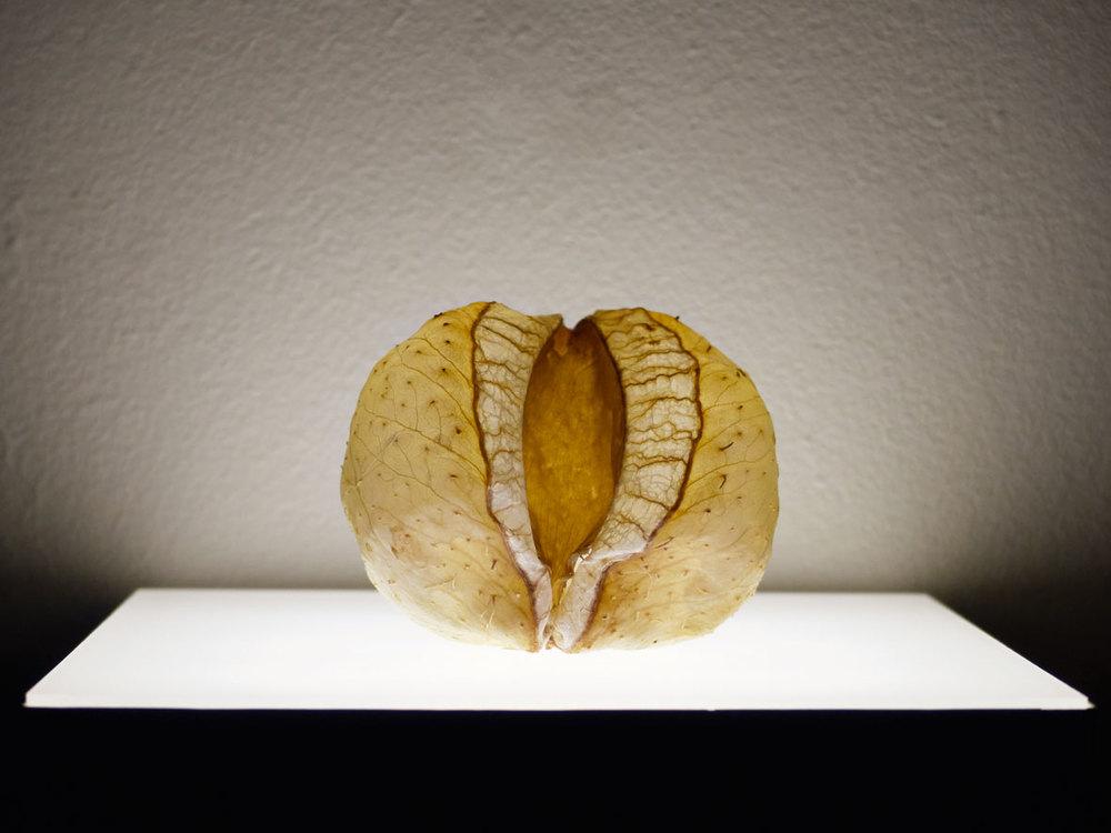 ballonpflanze 2008 7 cm × 7 cm × 7 cm Gomphocarpus fruticosus, Gießharz | gomphocarpus fruticosus, resin 350,– €