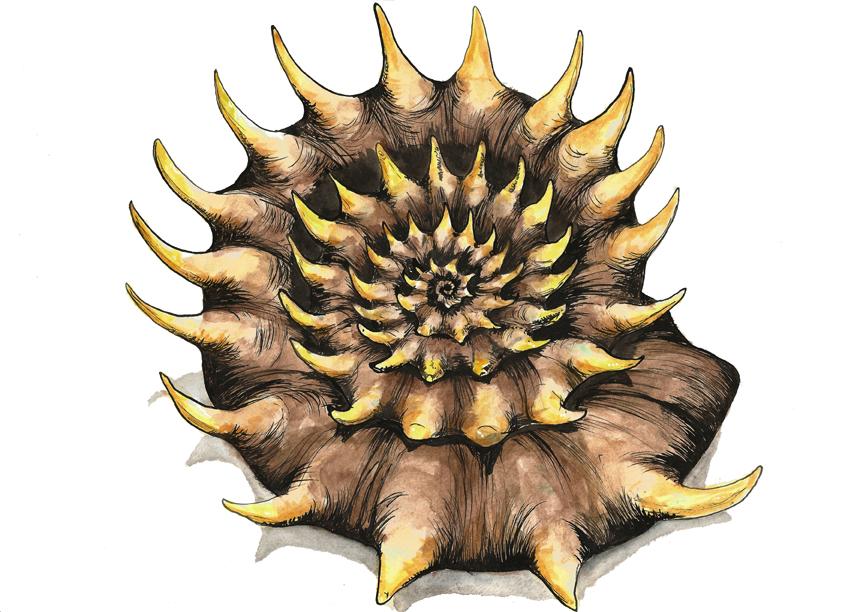 Eoderoceras ammonite