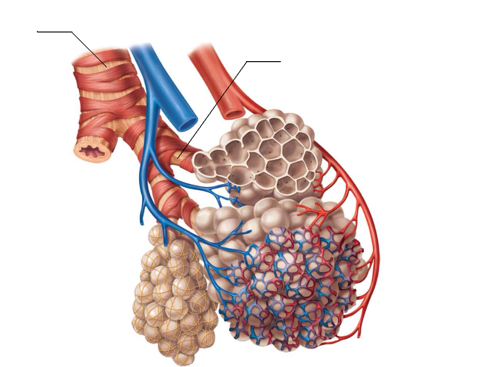 AlveolitheRespiratoryMembrane2_zps9b813ff5.png