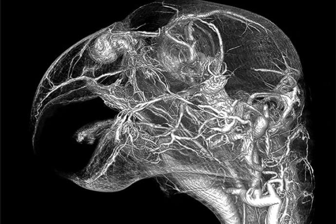 parrotCirculatory.png