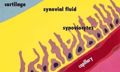 synovium_diagram.jpg