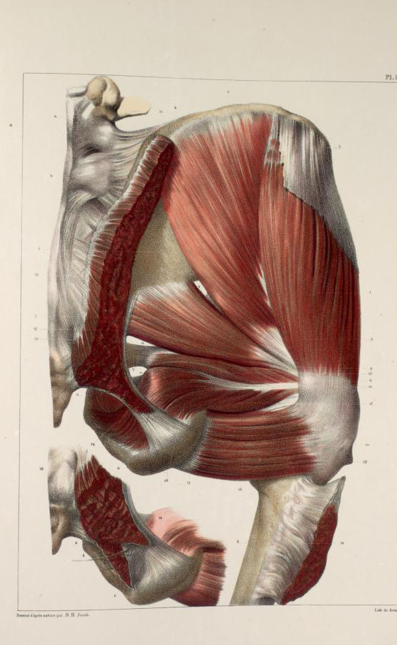 Muscles of the buttocks2.jpg