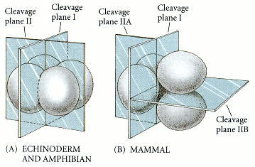 Mammalian cleavage.jpg