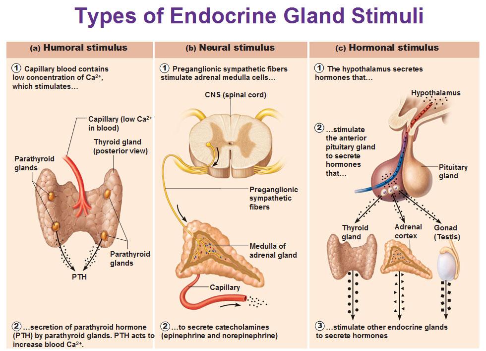 endocrine-gland-stimuli-humoral-neural-and-hormonal-stimulus.jpg