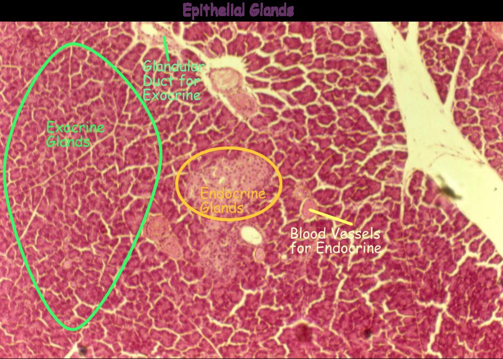 tissues_histo_EPI_GLANDULAR_exoendo_labeled.png