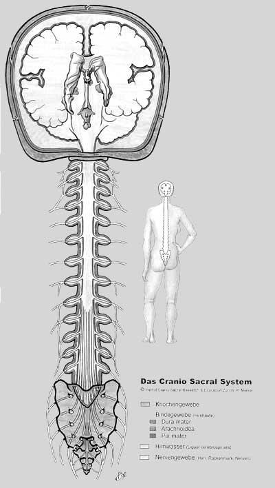 cranio_sacral_system3.jpg