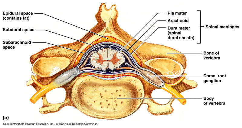 12-30a_SpinalCord_1.jpg