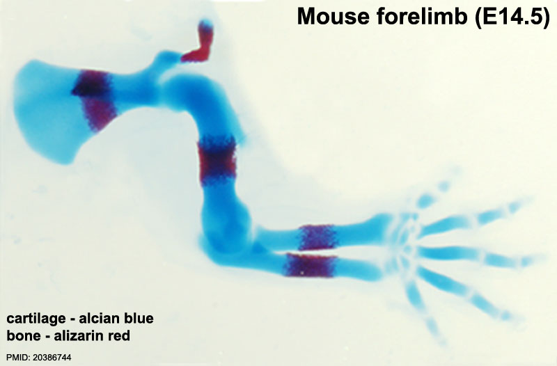 Mouse_limbOssificationBoneREdCartBlue.jpg