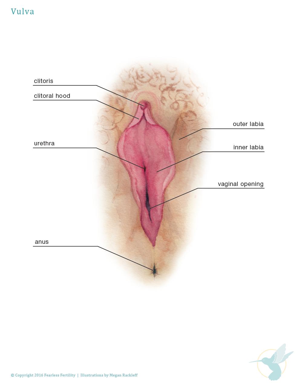 anatomyclitoris.png