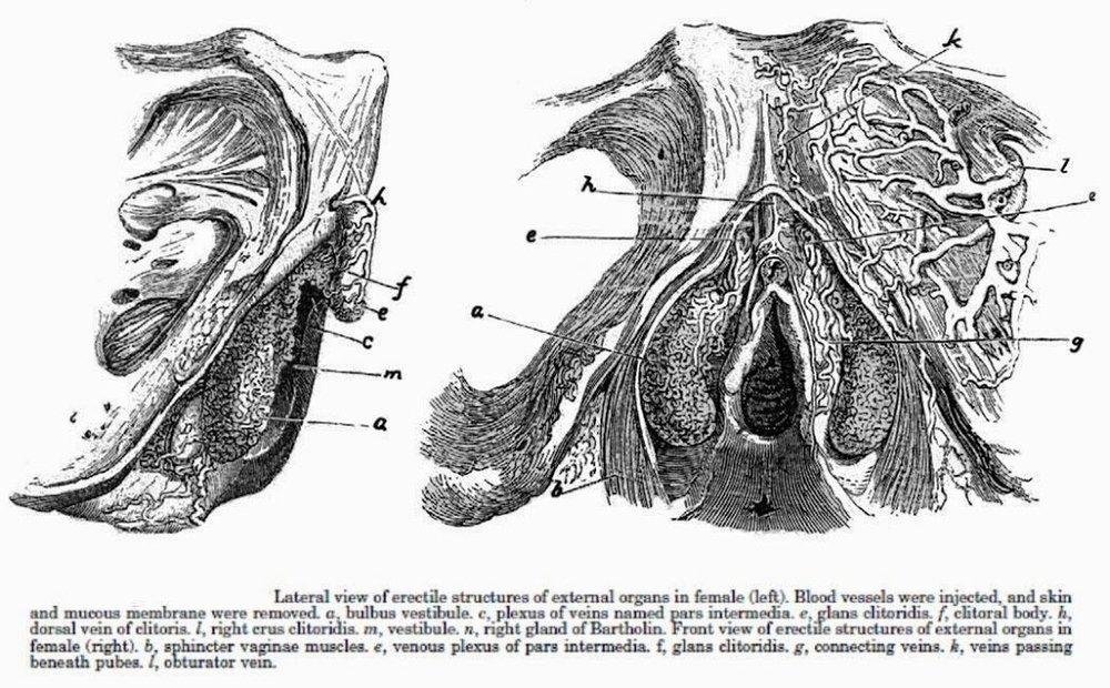 Clitoris_diss-C3-A9qu-C3-A9_par_Kobelt_en_1844.jpg