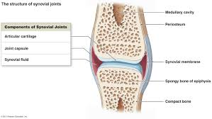 Synovial Joint.jpeg