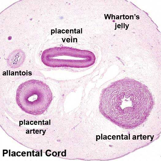 Placental_cord_cross-section.jpg