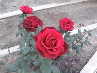 Photo taken in the rose garden in Granada, Spain.