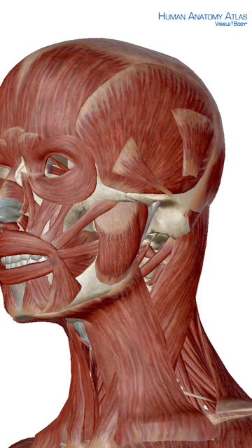 In this illustration, you can see the muscles that connect the jaw and neck, and jaw and head. (Courtesy of Visible Body App)