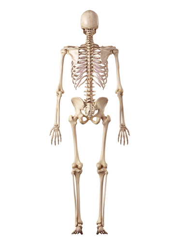 skeleton posterior view.jpg