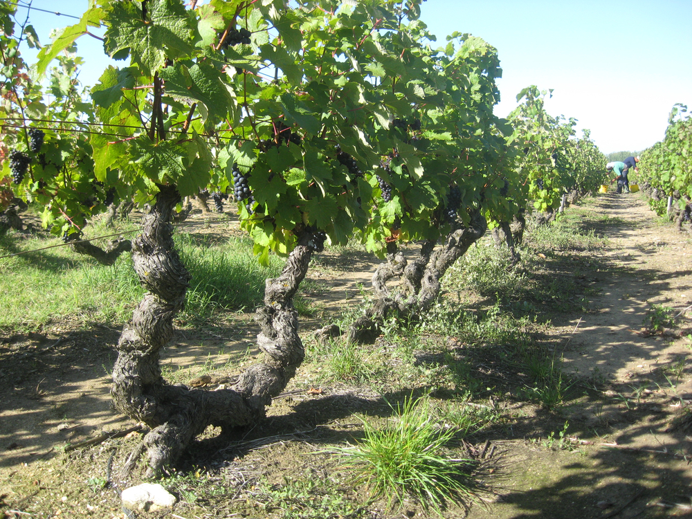 Vineyard closeup.jpg