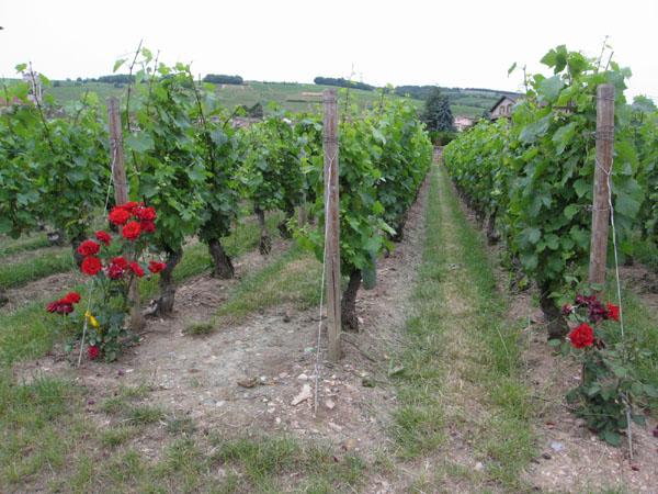 Domaine Dutron vineyard roses.jpg