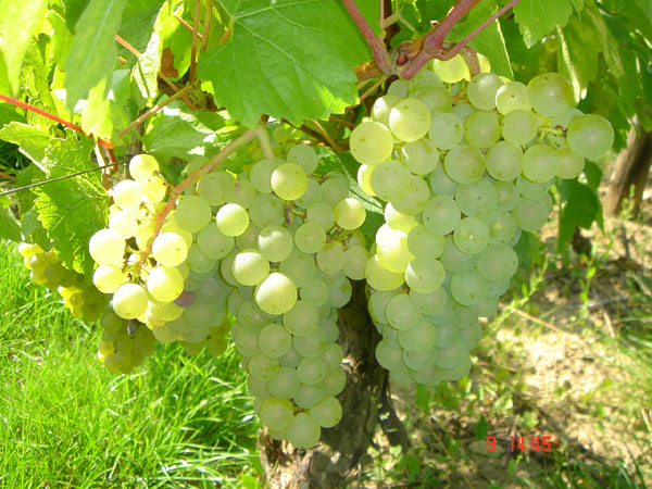 Domaine Dutron grape clusters.jpg