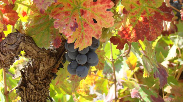 Cambrico vine and grapes closeup.JPG