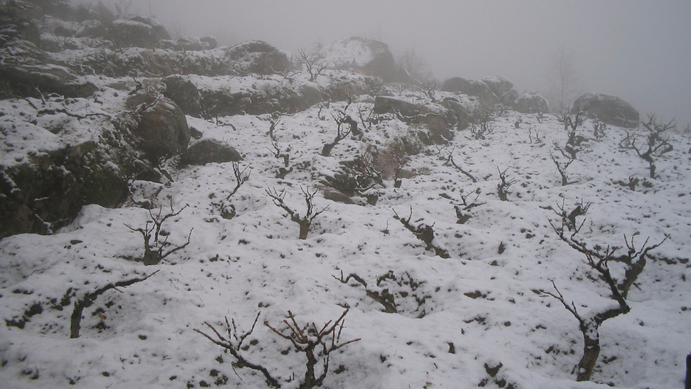 Cambrico vines growing in snow.JPG