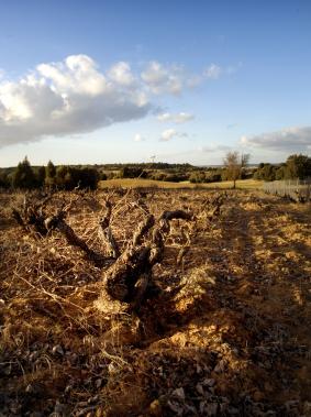 Anella old vine.jpg