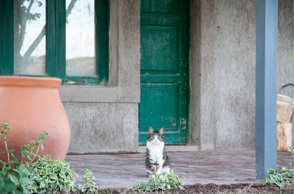 Compuertas vineyard cat.jpg