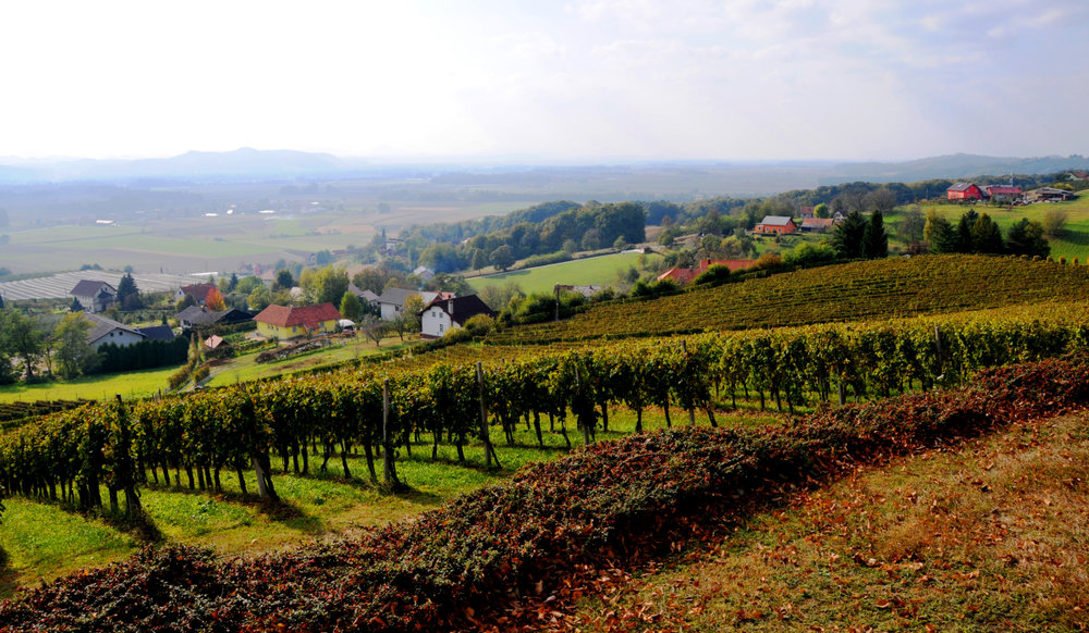 Vineyard rows, planted on the slope of the Kogl hill