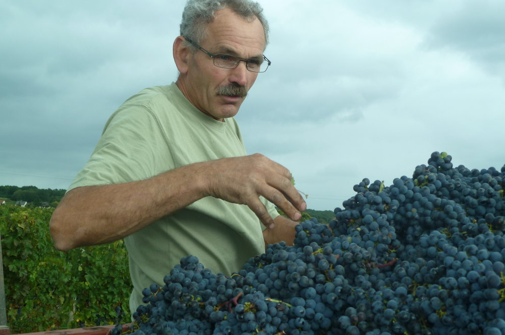 L'Arpenty grapes during harvest.JPG
