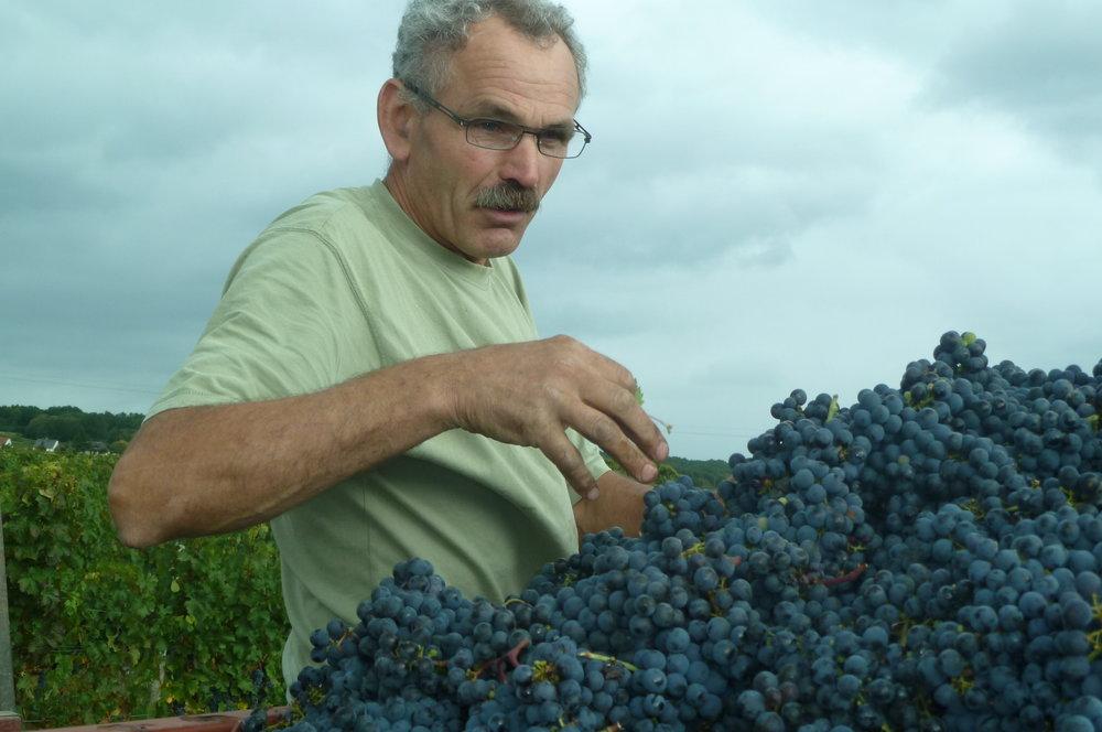 L'Arpenty grapes during harvest.JPG