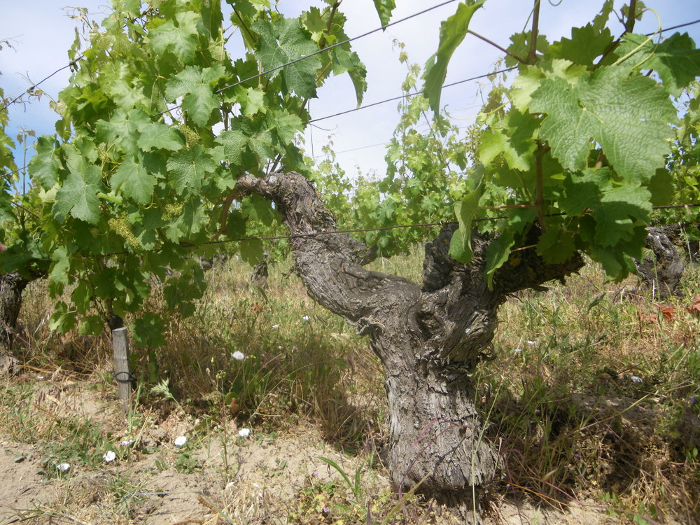 L'Arpenty vine in summer.JPG