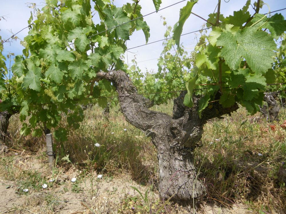 L'Arpenty vine in summer.JPG