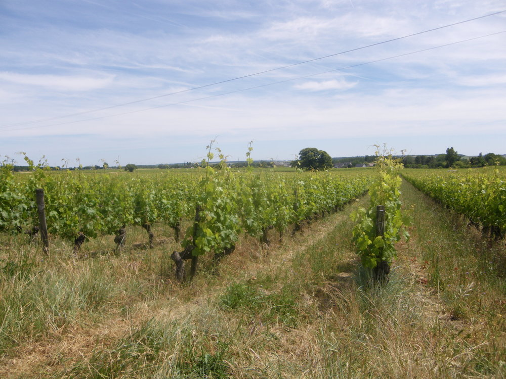 L'Arpenty vineyard in summer.JPG