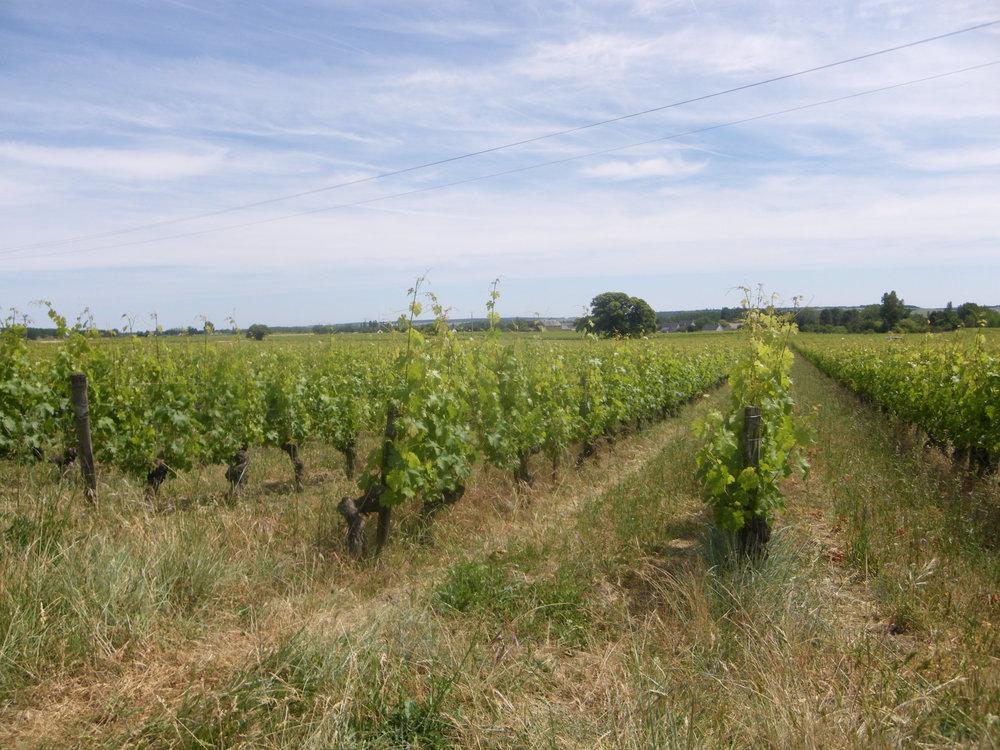 L'Arpenty vineyard in summer.JPG