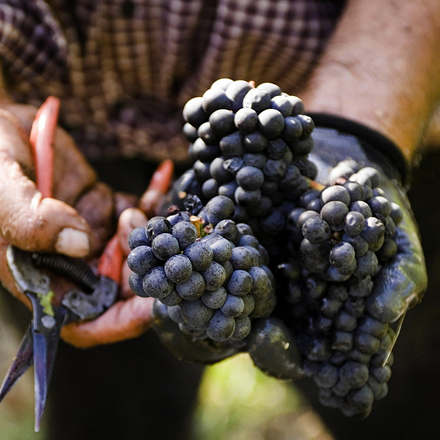Harvested grapes.jpg