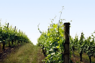 small vineyard.jpg